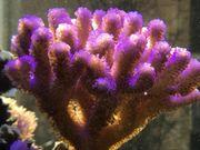 Meerwasser Korallen Zoanthus Ricordea