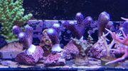 Korallen Meerwasser Biete hier kleine