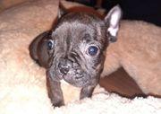 Mini Französische Bulldoggen Welpen abgabebereit
