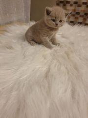 Bkh kitten geboren am 03