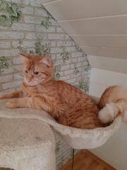 Norweger Main coon mix kater