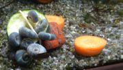 5 blaue Posthornschnecken 1 cm