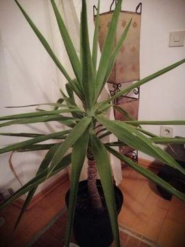 Pflanzen - Palme 100 cm Indoor und