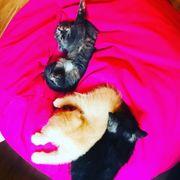 Scotisch Fold Kitten