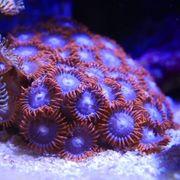 Korallen Meerwasser Weichkorallen Zoanthus SPS