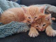Wunderschöne rote Kätzchen