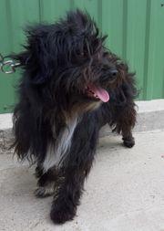 Tibet-Puli-Terrier Mix - Rüde auf Pflegestelle