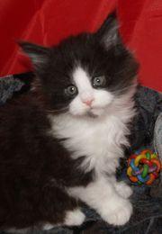 Traumhaft schöne Maine Coon Kitten