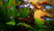 Schwertträger Xiphophrus helleri jung gesund