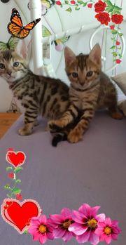 Bengalen Kitten abzugeben