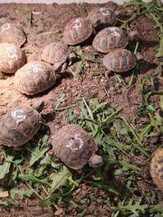 THB Griechische Landschildkröten