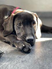 Labrador Hündin 14 Wochen