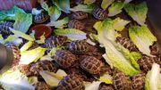 griechische und maurische Landschildkröten Schildkröte