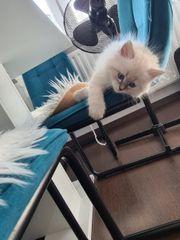 Neva Masquarade kitten mit Stammbaum
