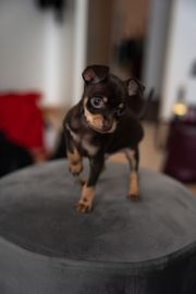 Russkiy Toy Terrier mini