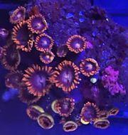 Zoa Meerwasser Koralle