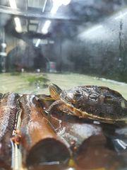 Chinesische Streifenschildkröten