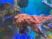 verschiedene Korallenableger Meerwasser SPS Scheibenanemonen