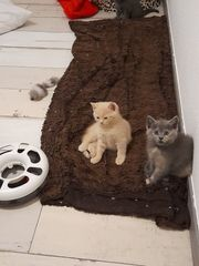Britisch kurzhaar babykatzen