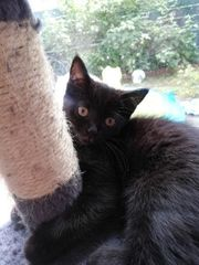 Britisch Kurzhaar Mix Kitten Black