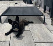 Französische Bulldoggen mit Ahnentafel