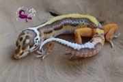 Leopardgecko 1 0 Männchen Bell