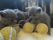 BKH Kitten Ratenzahlung möglich Britisch