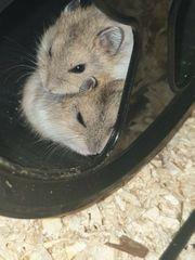 Hamster aus liebevoller hobbyzucht