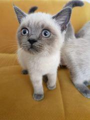 Baby BKH Kitten in Weiß