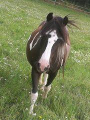 Kinderfreundliches Pony zu verkaufen