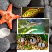 Fischfamilie abzugeben Bärblinge