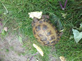 Reptilien, Terraristik - Weibliche Stepplandschildkröte zu verkaufen