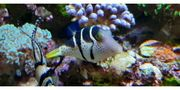 Canthigaster valentini Sattel-Spitzkopfkugelfisch Meerwasser