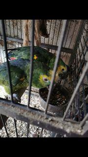 Papagaien Paar im besten Alter