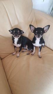 Chihuahua weiblich und männlich