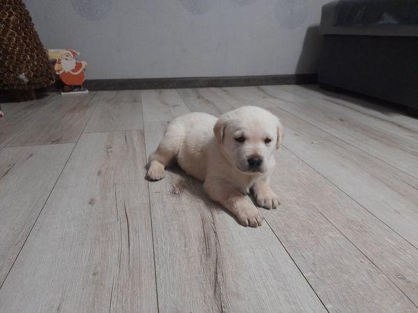 Hündin Labrador-Reservierung! ! !