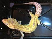 Leopardgeckos Weibchen und Männchen 1