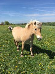 Reitbeteiligung zu vergeben Pony sucht