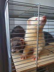 2 junge Frettchen w-Iltis m-Albino