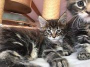 Unsere Maine Coon Katze sucht