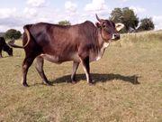 Kräftige Zebu - Kuh Buckelrind zu