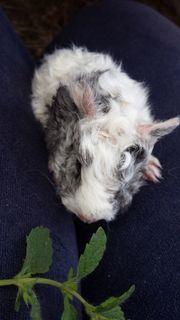 Junges Meerschweinchen silberagouti-weiß Lunkarya und