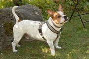 Hucki 4 Jahre - Französische Bulldoggen-Jack Russel-Mix