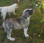 Süße Old english Bulldogwelpen suchen