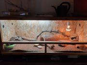 2 Leopardgeckos mit Terrarium und