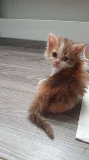 Selkirk Rex Kitten Orly