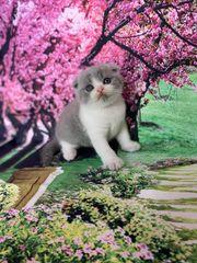 Schottisch Scottish Fold BKH Kitten
