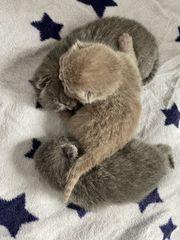 Britisch Kurzhaar Kitten in lilac