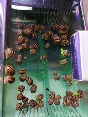 Zebraschnecken Algengarnelen Raubschnecken Guppys Pflanzen