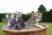 Schöne BKH Kätzchen suchen ein